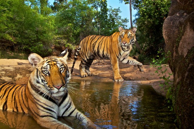 SteveWinter_Tigers_12
