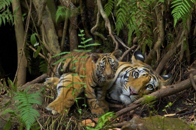 SteveWinter_Tigers_19