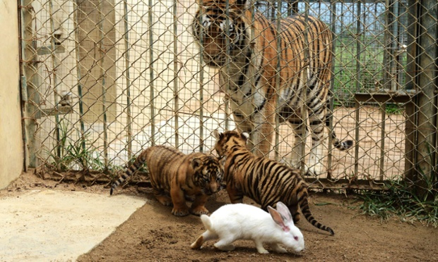 Zoo uses live rabbit to stimulate hunting instincts of baby lion, tiger and leopard, Shandong Province, China - 10 Sep 2013